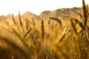 golden oats